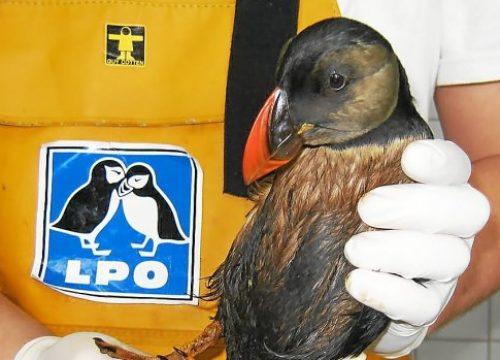Recensement des oiseaux marins mazoutés